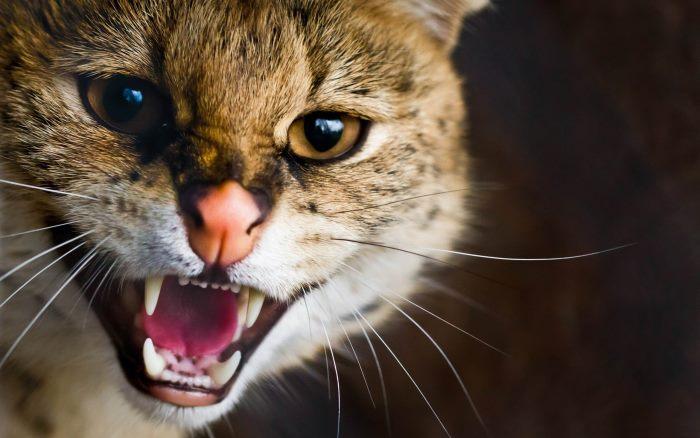 Как кошки могут заразиться бешенством основные пути инфицирования