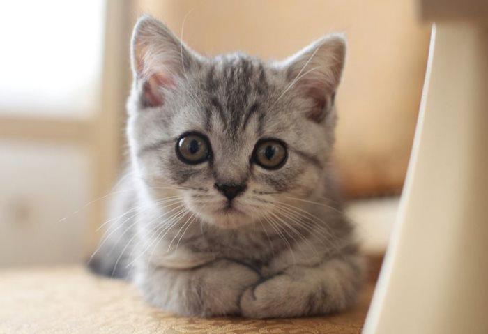 Прямоухие шотландские котята, чем кормить