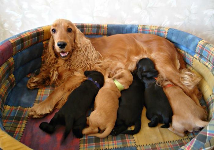 Чем кормить щенка кокер спаниеля: в 1, 2, 3, 4 или 6 месяцев, натуральное меню или готовые корма, витамины, список запрещенных продуктов