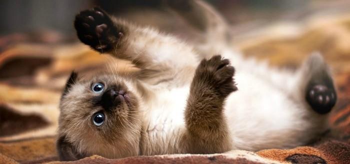 Сиамская кошка: чем кормить и почему
