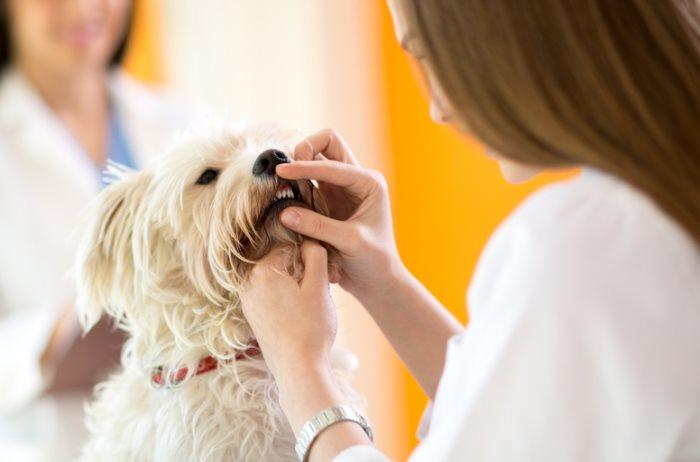 Почему выпадают зубы у собаки