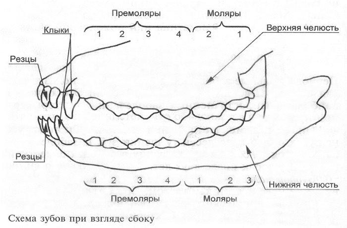 Смена и удаление молочных зубов у йорков