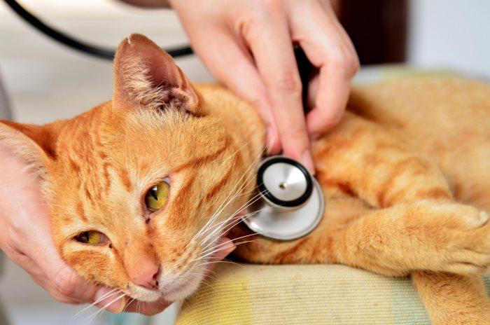Кламоксил для кошек применение в ветеринарии