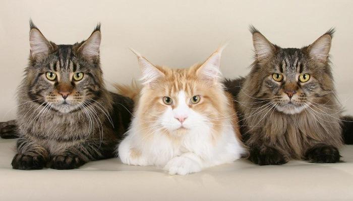 Вывих коленного сустава у кошки стадии развития патологии и методы лечения