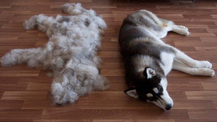 Почему линяет собака