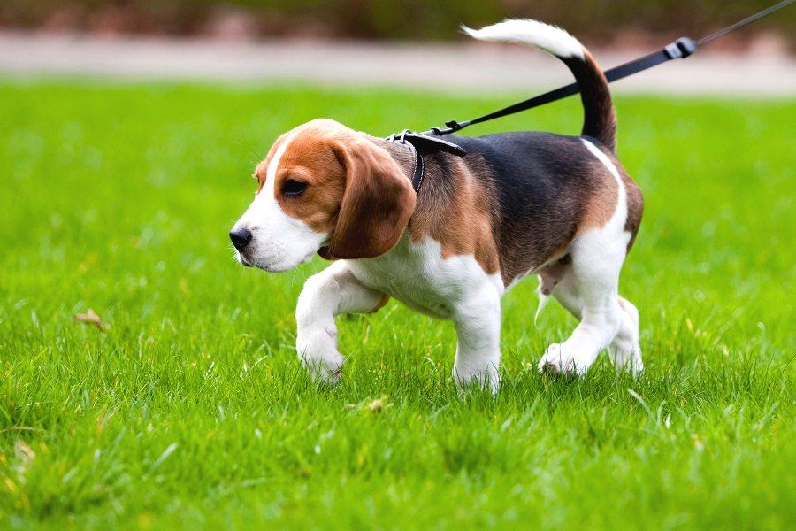 Как гулять с щенком