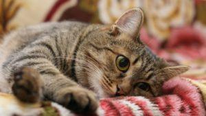 Средства для повышения иммунитета у кошек thumbnail