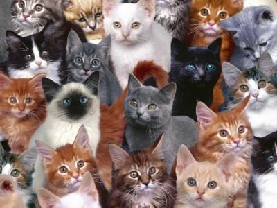 Какую выбрать породу кошек