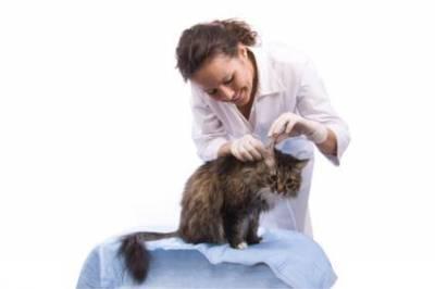 Почему у кошки грязные уши и как их правильно чистить