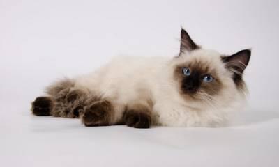 Священная бирманская кошка истинное воплощение безмятежности