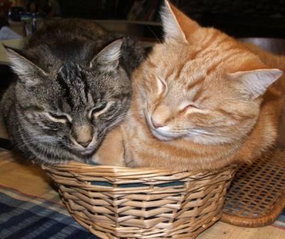 Как помирить двух кошек
