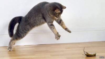 Лечение кошек от токсоплазмоза