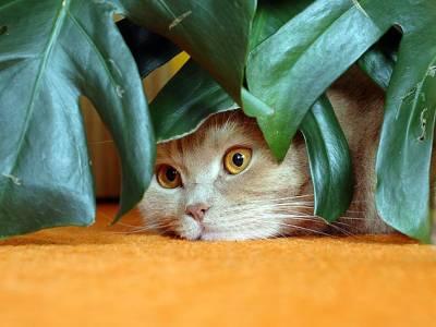 Хлорофитум ядовит для кошек
