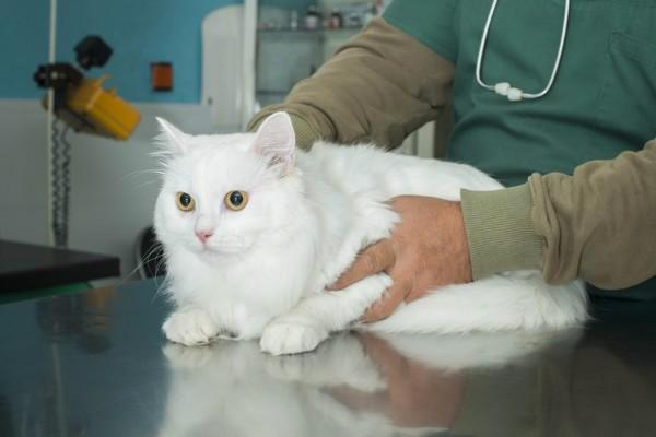 Поликистоз почек у кошек и котов