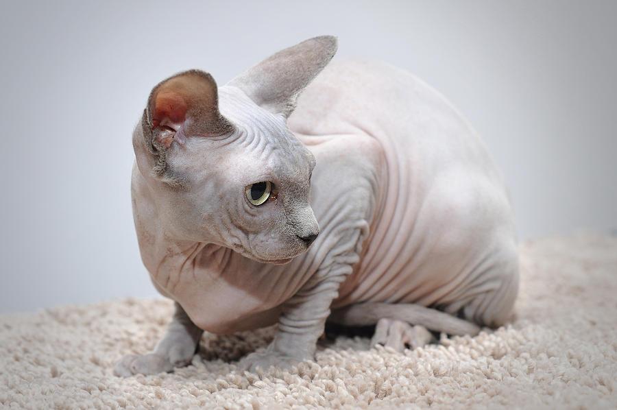 лучшие фото кошек сфинксов особо