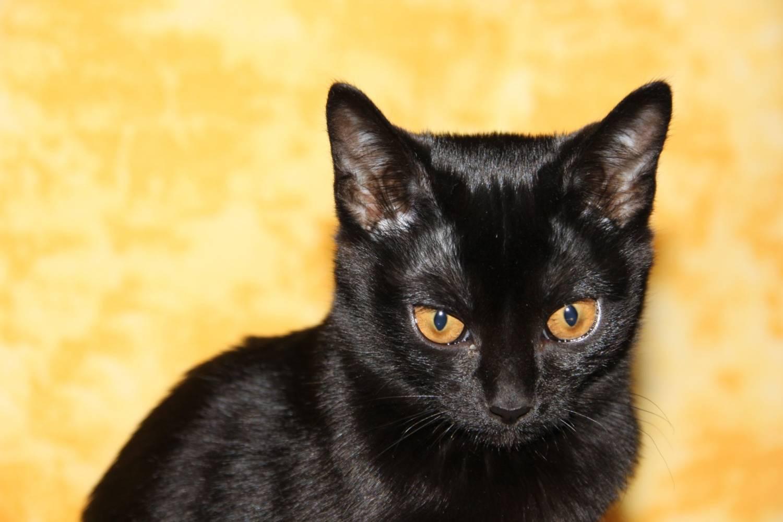 течение картинки кошек черного окраса часто именуют