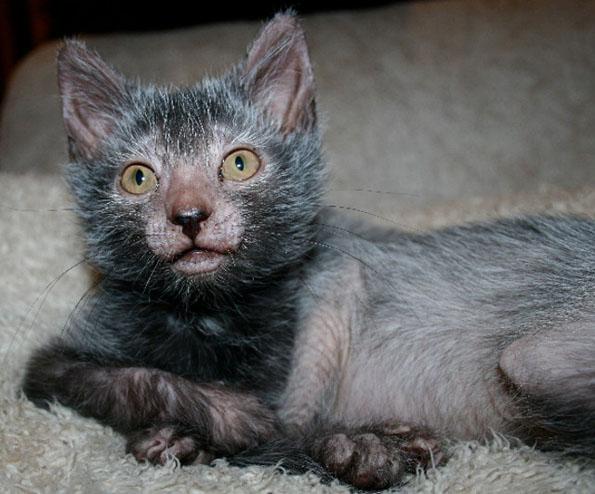 Ликои порода кошек. Особенности, цена и уход за породой ликои
