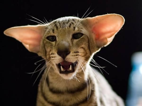 Порода кошек с большими ушами и вытянутой мордой