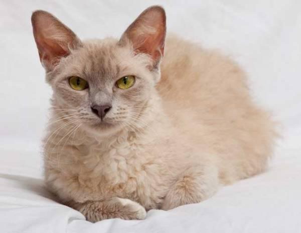 Кошки ла-перм кто они