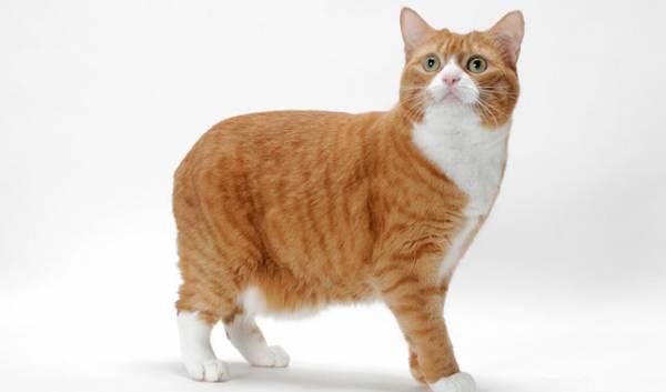 Мэнкс порода кошек