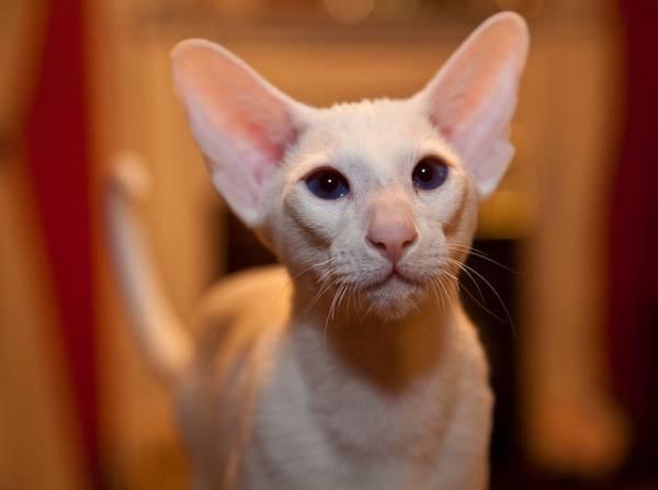 Кошка породы форин вайт  голубоглазая блондинка в которую невозможно не влюбиться