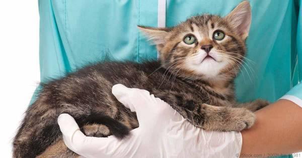 Дисплазия тазобедренных суставов у кошек