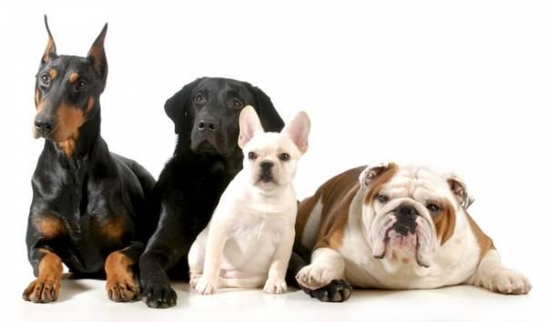 Как определить породу щенка по внешнему виду