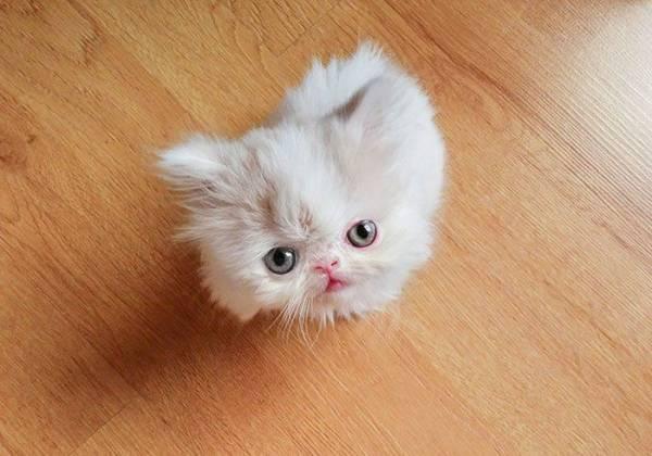 Наполеон — подробный обзор породы кошек (  фото и видео)