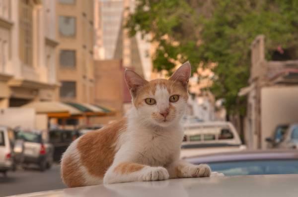 Кошки » Породы » Аравийский мау