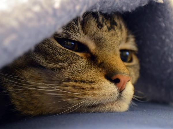 Лимфома — рак лимфатической системыу кошек