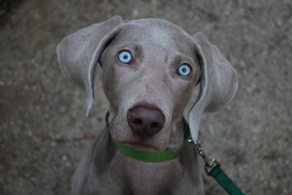 веймаранер собака описание породы