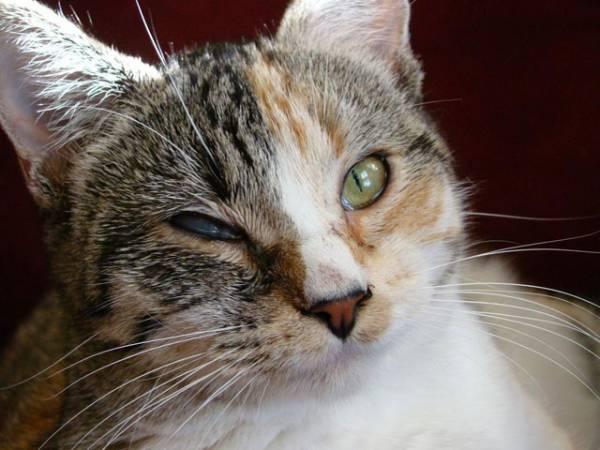 Отек квинке у кота неотложная помощь