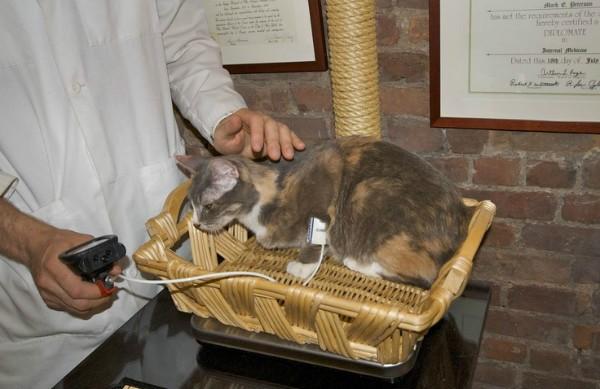 Как измерить давление у кошки в домашних условиях причины высокого и низкого результата дома