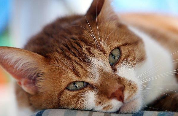 Фарингит – воспаление гортани у кошек