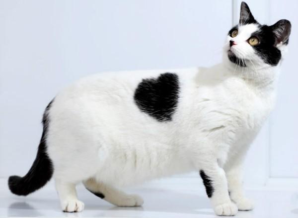 Дирофиляриоз у кошек пути заражения симптомы и лечение