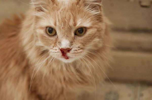 Почему у кошки идет кровь из носа: первая помощь и причины