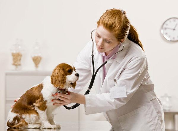 Признаки сердечной недостаточности у собак ⋆ Лечение Сердца