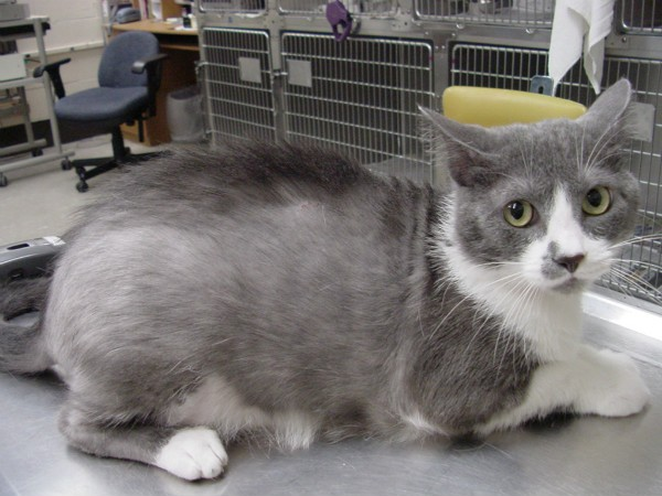 Залысины у кошки как отличить норму от патологии