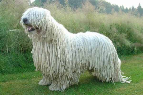 85faab3a380b Официальное название породы, Венгерская овчарка, появилось уже после  вынужденного переселения поголовья собак со своей родины в Венгрию.