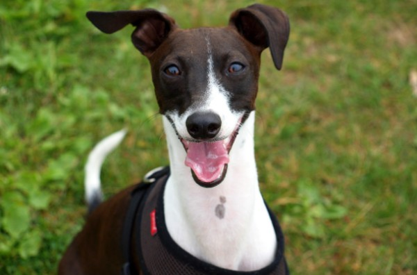 Порода собак левретка - описание, характер, характеристика, фото левреток и видео, цена малой итальянской борзой
