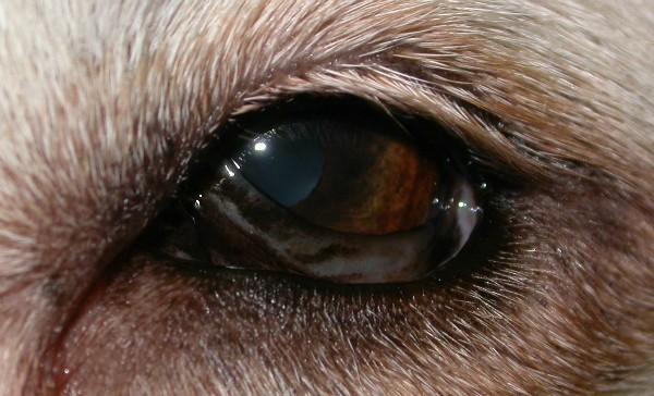Иридоциклит у собаки
