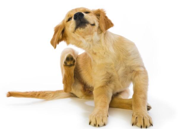 Блошиный дерматит у собак — методы диагностики и лечения