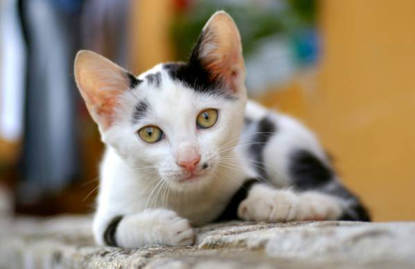Пузырчатка у кошек. Пузырчатка обыкновенная у собак и кошек. Симптомы эритематозной пузырчатки