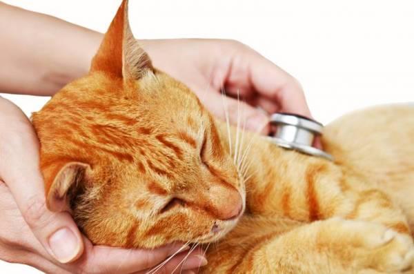 коронавирус у кошек симптомы диагностика терапия