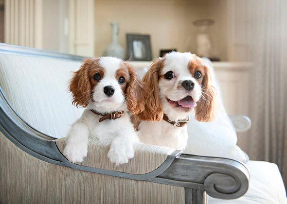 маленькие собачки короткошерстные