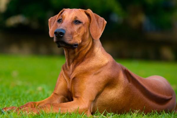 Порода собаки риджбек