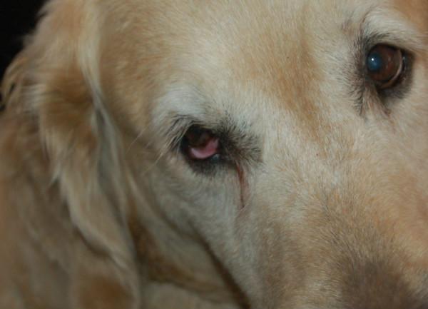 Синдром Горнера (Хорнера) у собак: описание, симптомы и способы лечения