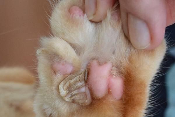 Нарост на лапе у кошки