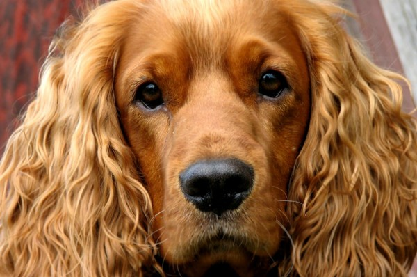английский породы собак