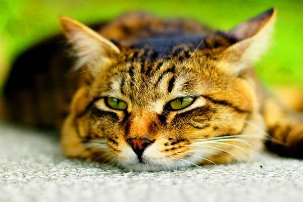 Сердечный кашель у кошки лечение